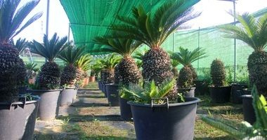Viver-palmeres-jardi-girona-Cica-Revoluta