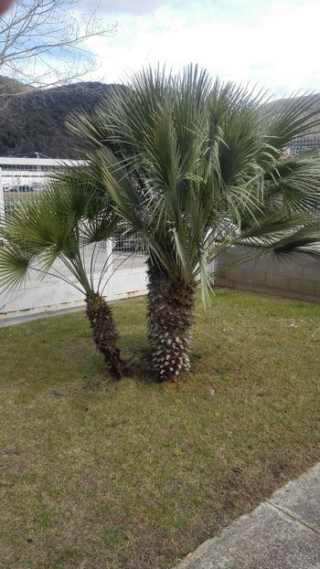 Palmeres-jardi-palmito-chamaerops-humilis-girona
